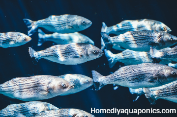 How to lower ammonia levels in fish tank naturally aquaponics