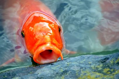Can you eat Koi Carp (But why would you want to?)
