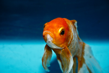Can you eat goldfish (Is it safe to eat a goldfish?)